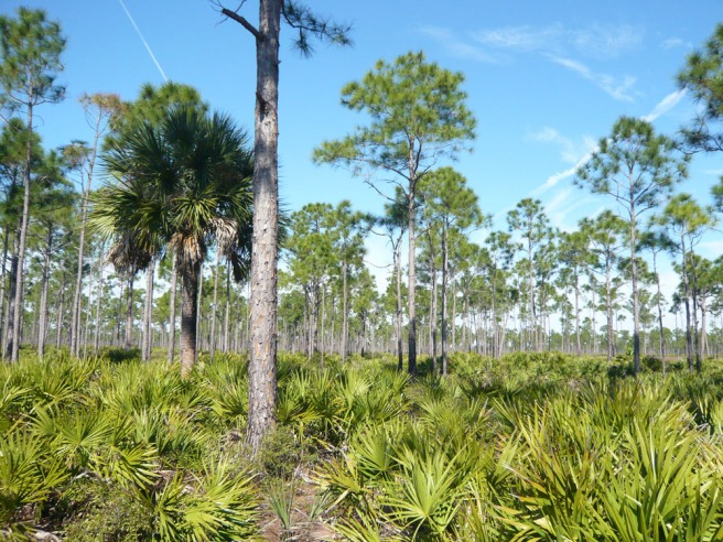 FL-pine-flatwoods-011408_01-flick-756697.jpg